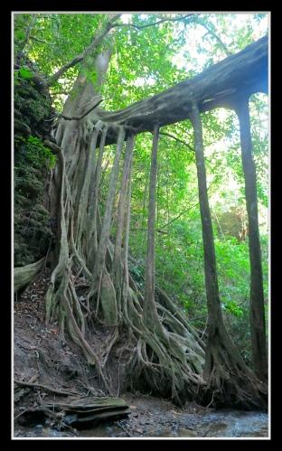 Un otro ficus in Monteverde
